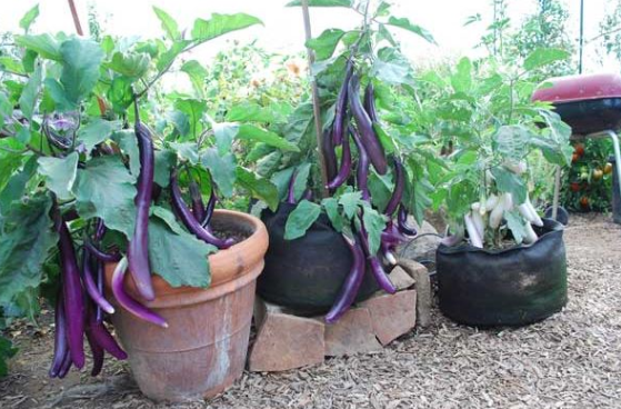 How To Grow Organic Vegetables In Pots