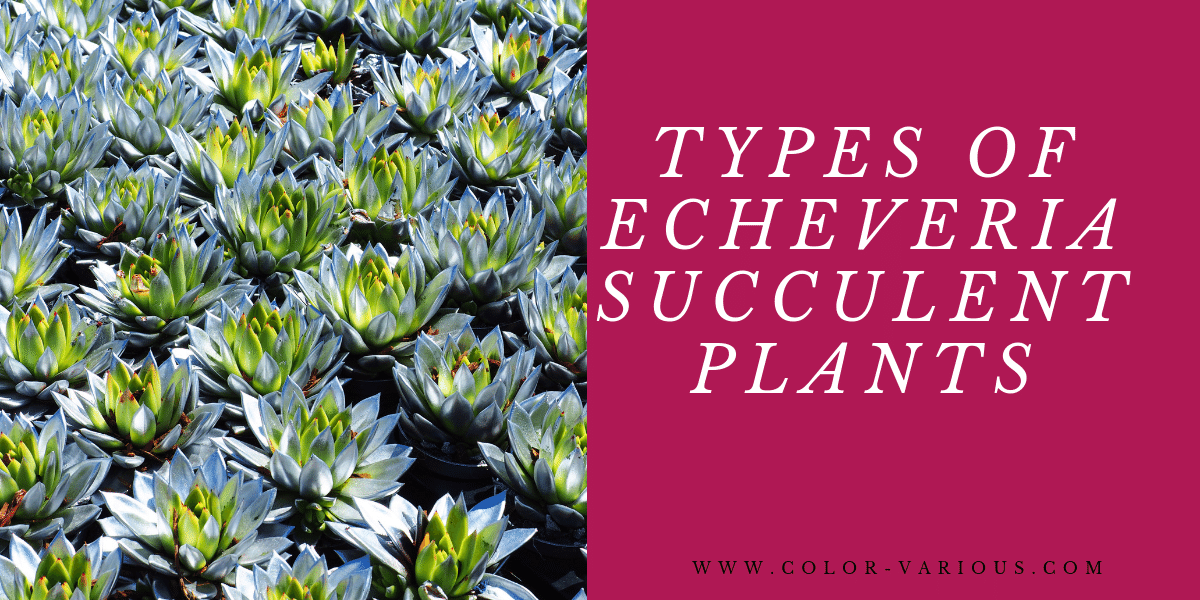 TYPES OF Echeveria SUCCULENT PLANTS