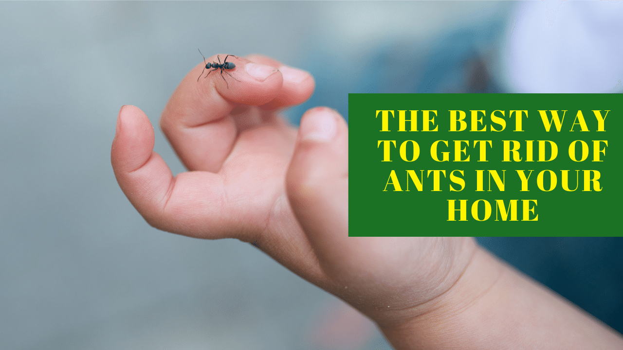 The best way To Get Rid Of Ants In Your Home