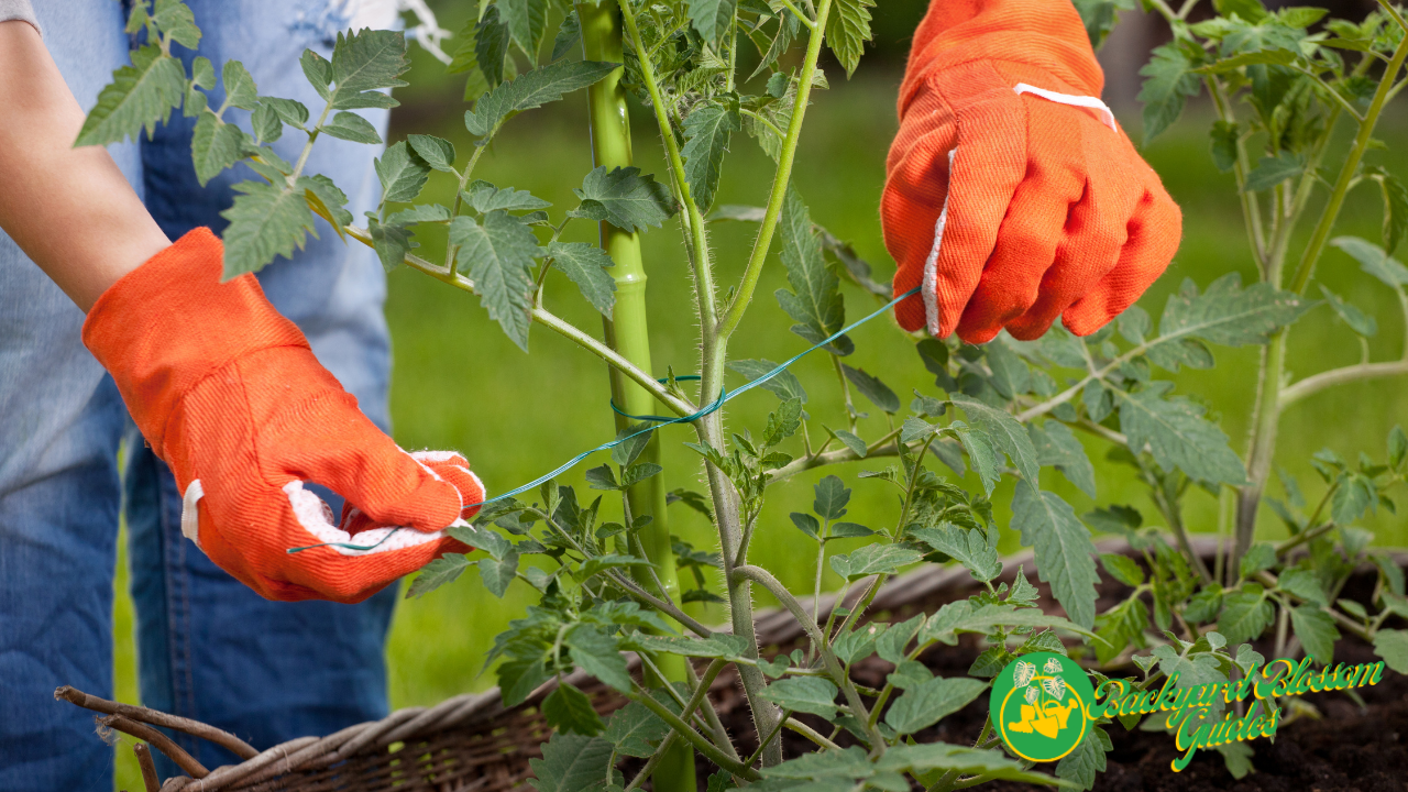 Can tomato plants get root rot