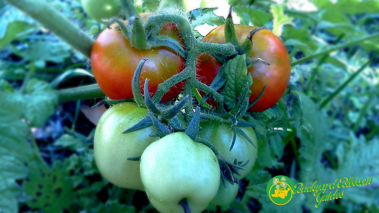 How Do You Know If You Are Overwatering Tomatoes?