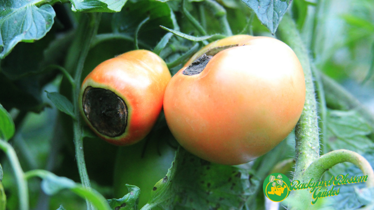 How to prevent tomato rot?