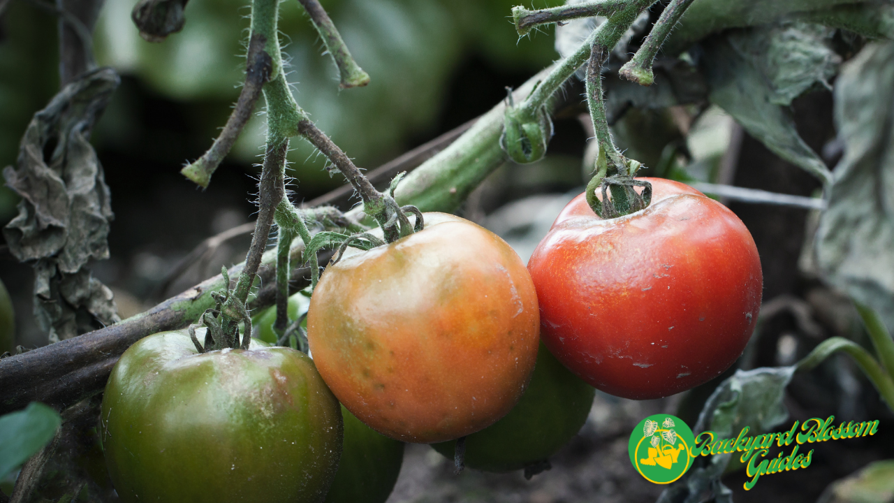 What causes tomato stem rot?